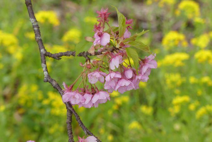 河津桜と組み合わせて、春の海と花と雛の旅もおすすめ!