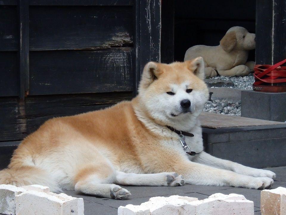 秋田犬とカフェでひと休み