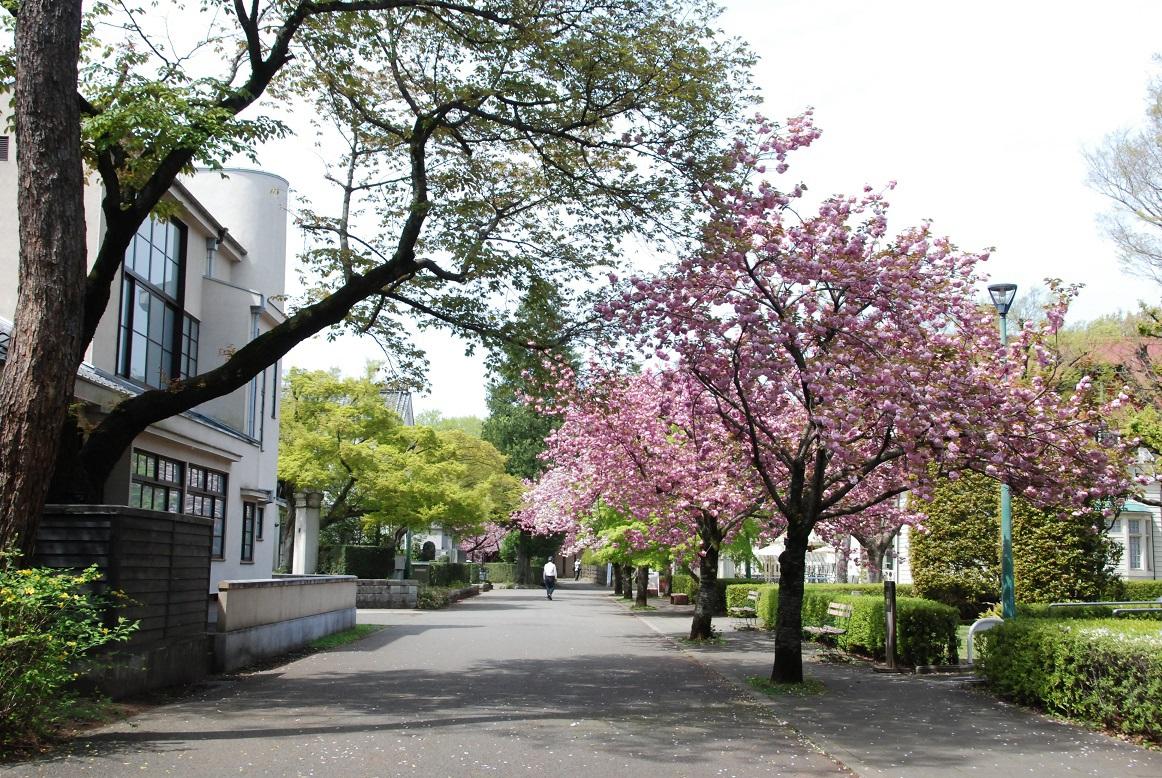 江戸時代から桜の名所の小金井