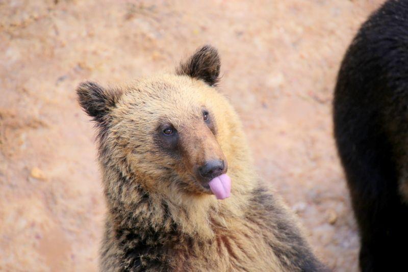 バイバイ、テヘペロ!?クマが可愛すぎる!北海道「昭和新山 熊牧場」