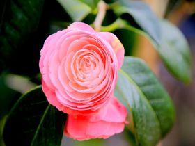 寒い冬にさらば!伊豆大島の「椿まつり」で一足早い春を感じよう