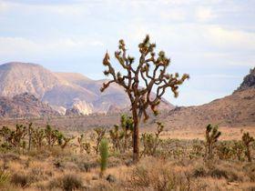 カリフォルニア「ジョシュア ツリー国立公園」はぐねぐねの木が育つ場所