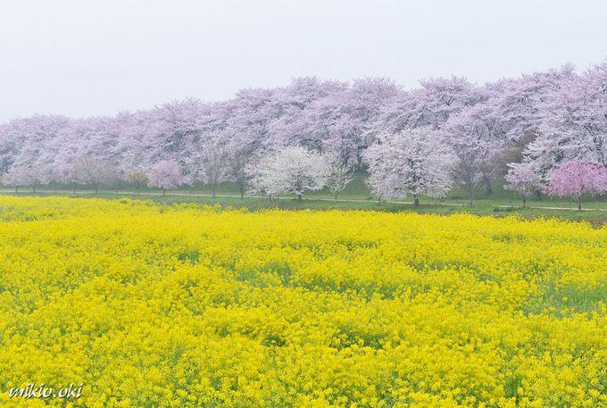 4.権現堂堤/埼玉県