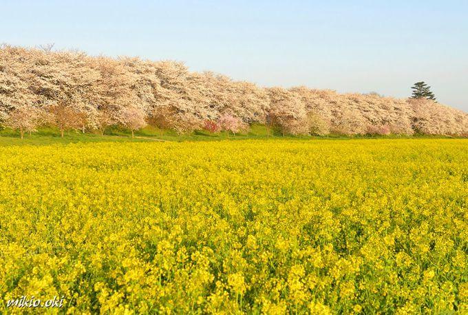 埼玉の桜の名所「幸手権現堂桜堤」広大な桜並木と菜の花畑