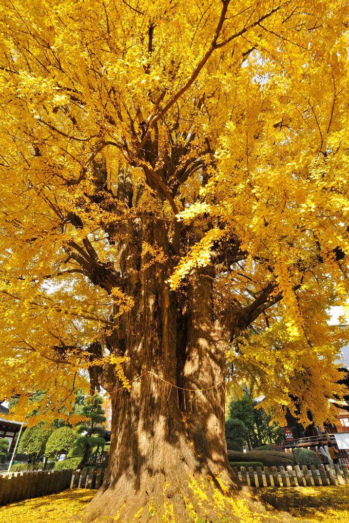 大イチョウの黄葉の見頃はいつ?