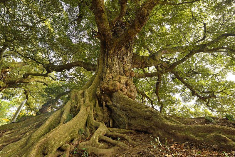 関東平野の名峰・茨城県「筑波山」山中の巨木を巡るハイキング