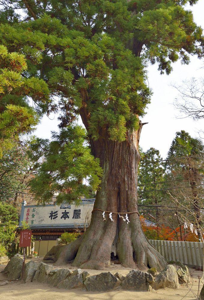 巨木2本目・筑波山神社の大スギ
