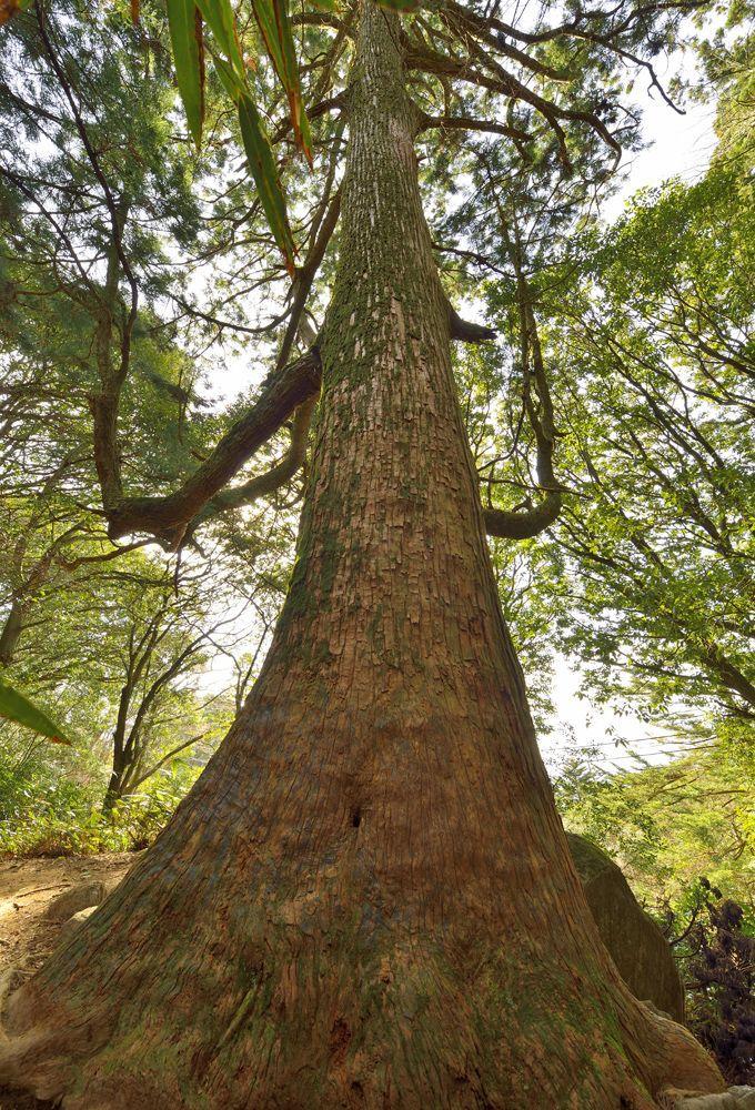 巨木4本目・ヘソの大スギ