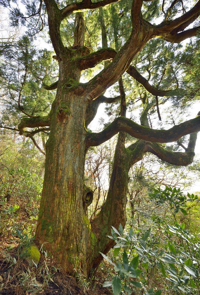 巨木5本目・紫峰スギ