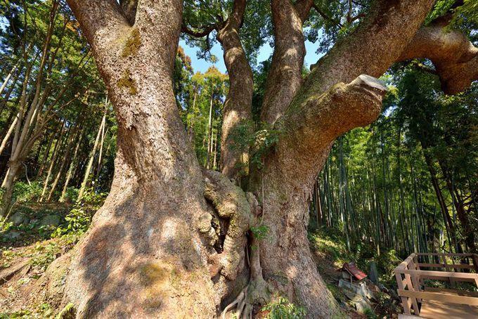 埼玉県で最大の巨木「上谷の大クス」