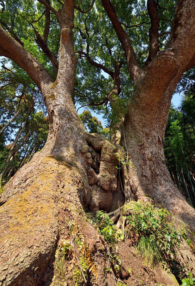 クスノキ(楠)はどんな木?