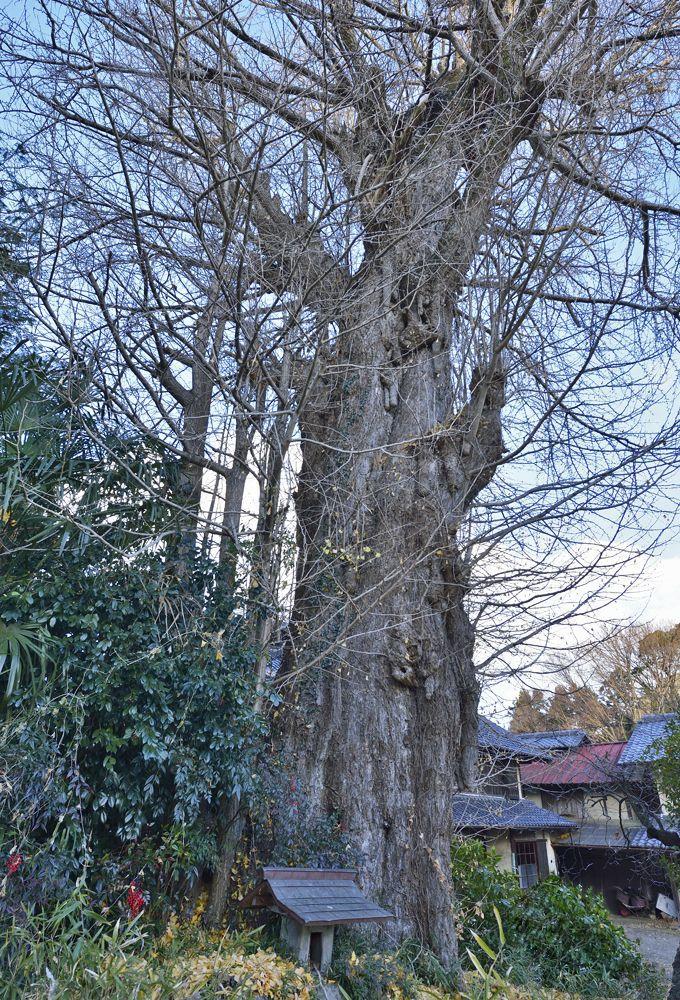 巨木1本目・町で最古老の巨木「関堀の大イチョウ」