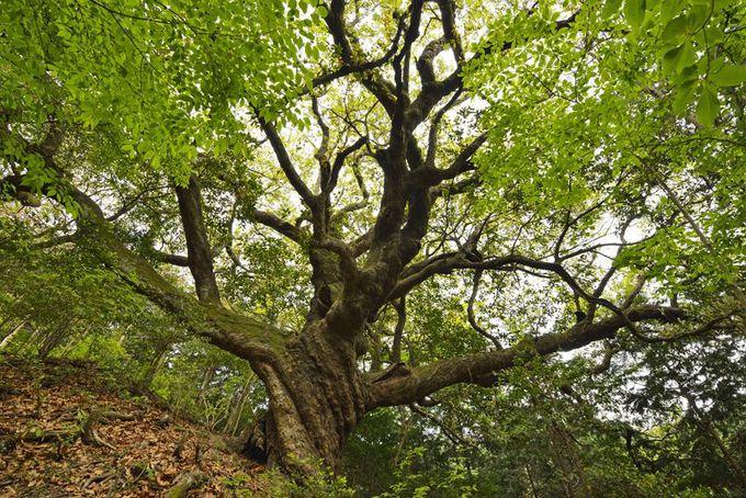 巨木5本目・山奥に立つ異形「姥樫」