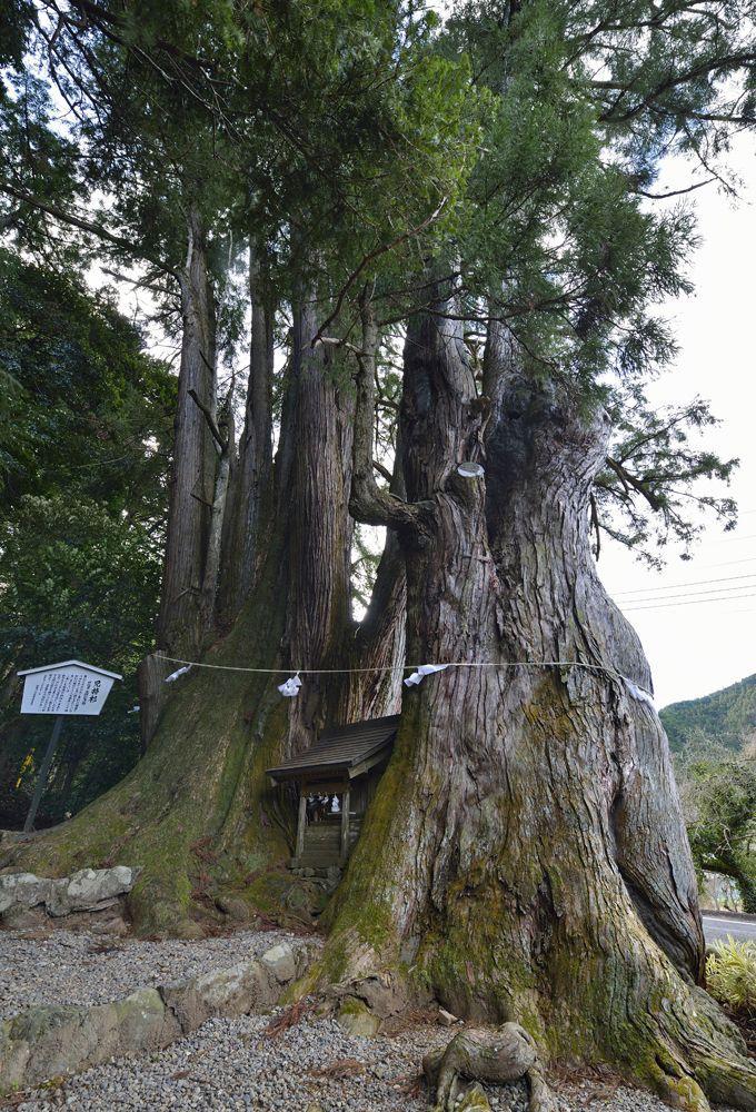 巨木2本目・町で最大の巨木「児持スギ」