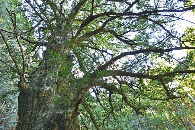 巨木3本目・風格極立つ霊木「西平の大カヤ」
