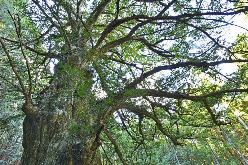 埼玉県の巨木の宝庫「ときがわ町」で巡る巨木5選