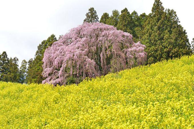 杉沢の大スギと合わせて見たい大桜「合戦場のしだれ桜」