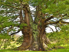 福島県で最大の巨木「杉沢の大スギ」・ 国民的アニメ「まんが日本昔ばなし」に登場する神秘的な巨木