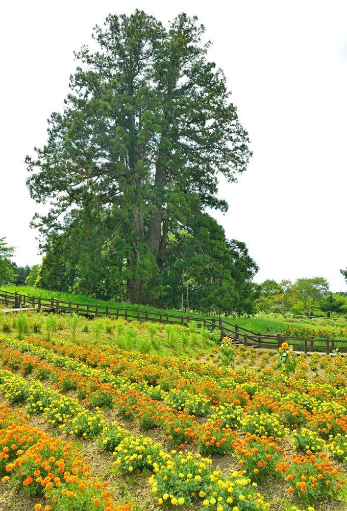 大スギが中心の広い緑地