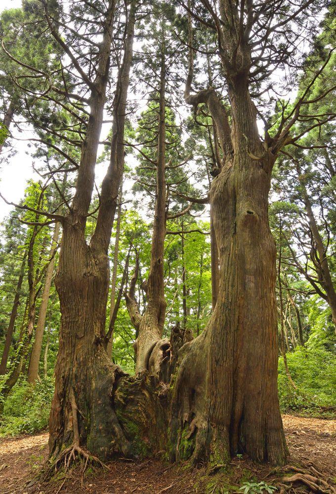 幻想の森の王「幻想大杉」