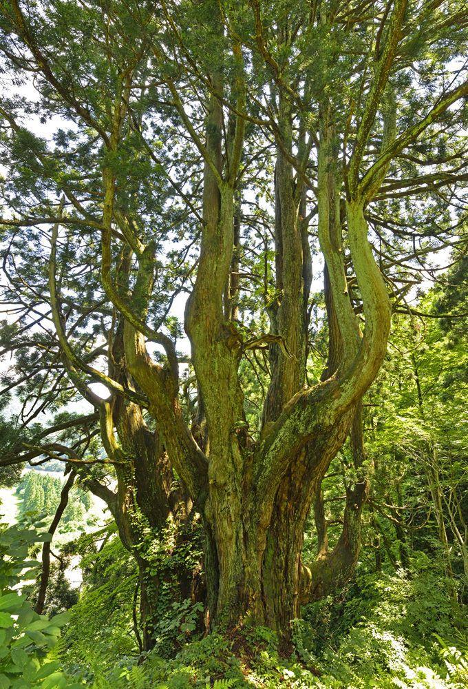 最上峡は巨木の宝庫「土湯の黒杉」