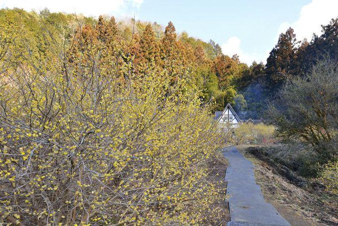 広い蝋梅の森を周遊