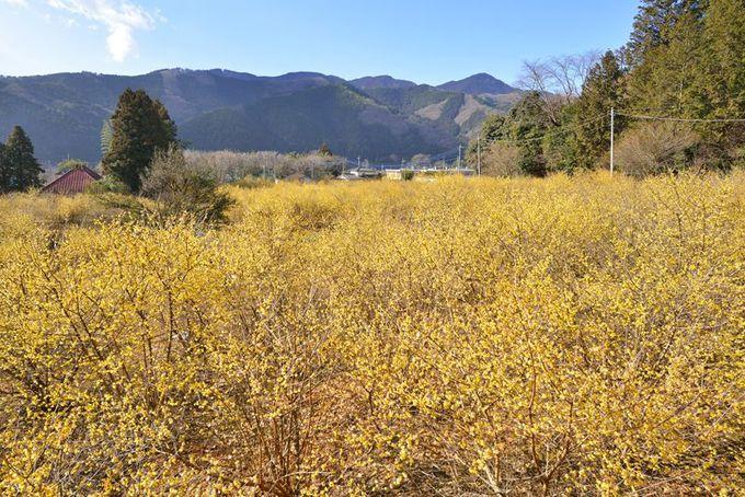 里山に抱かれた蝋梅の花園