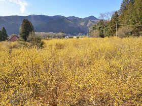 早春の里山を彩る黄金の花園「上永野・蝋梅の里」栃木県で最大の蝋梅園