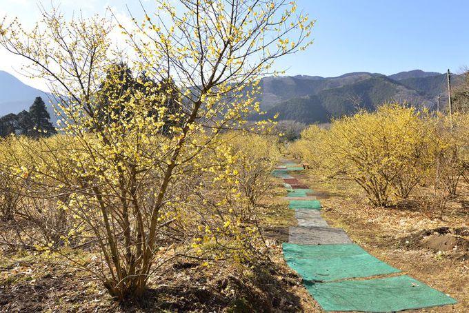 里山と蝋梅が織り成す癒しの風景