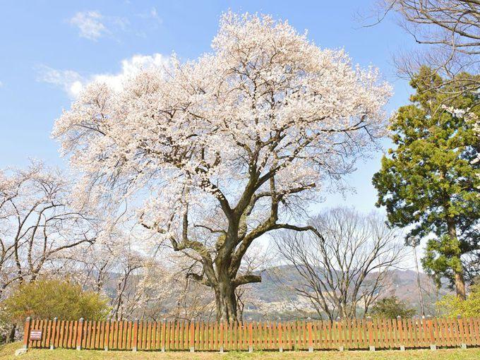 「御殿桜」沼田市のシンボルの一本桜