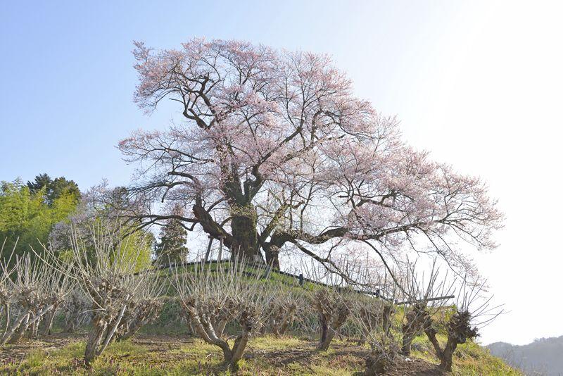 「発知のヒガンザクラ」山里に春を告げる一本桜