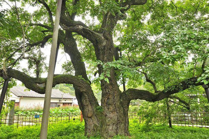 桑の木と養蚕