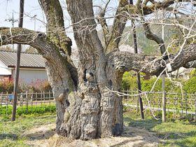 日本最大の桑の巨木「薄根の大クワ」群馬県の里山に立つ養蚕の御神木