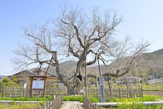 日本一の桑の巨木「薄根の大クワ」