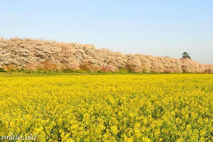 桜と菜の花の絶景!埼玉を代表するお花見名所「権現堂桜堤」