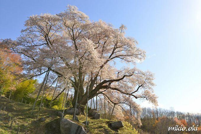 高台の舞台で咲き誇る一本桜