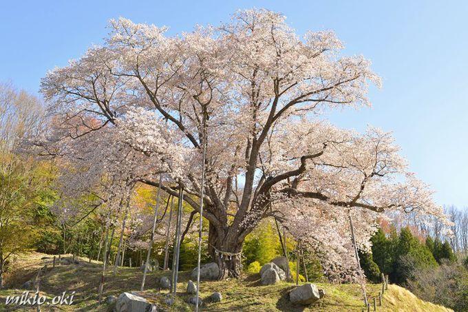 福島県の銘桜・越代のサクラ