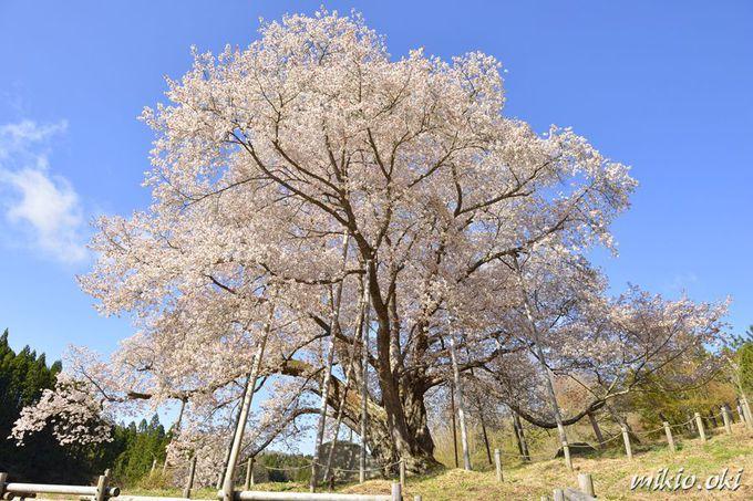道路と高台から遮るものなく大桜を鑑賞