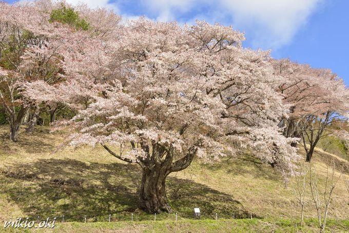 開花時期が重なる付近の銘桜・新田の大山桜