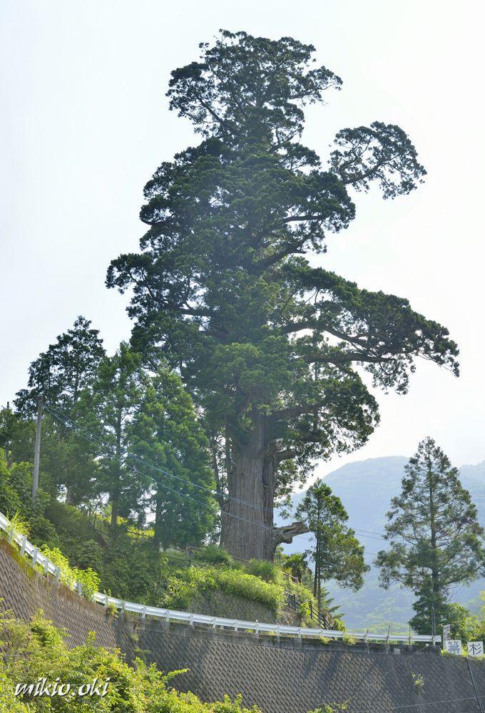 丹沢山地の渓谷に立つ神奈川県で最大の巨木