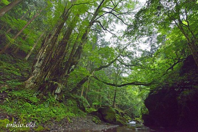 美しい清流の奥地に鎮座する巨木