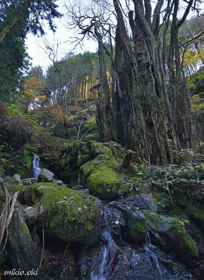 山奥の沢沿いに立つ御神木「加蘇山の千本かつら」