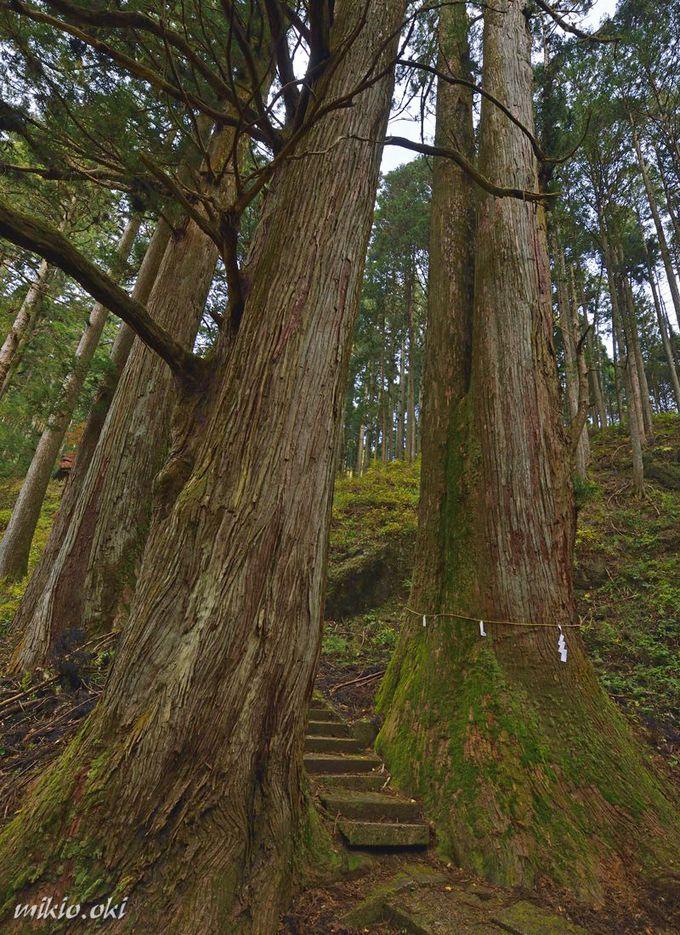 加蘇山神社の巨木〜入口は大杉の門