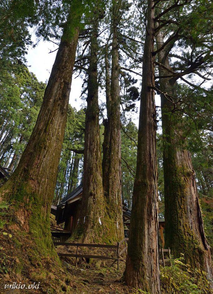 加蘇山神社の巨木〜大杉が集う神殿