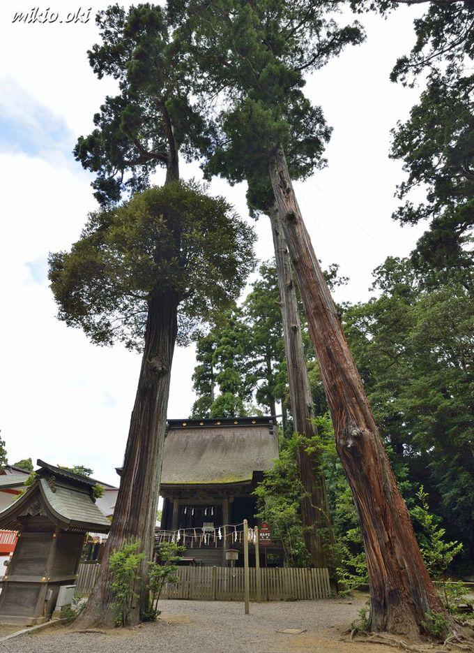 鹿島神宮の巨木・仮殿の三本杉〜中腹には大きな宿木