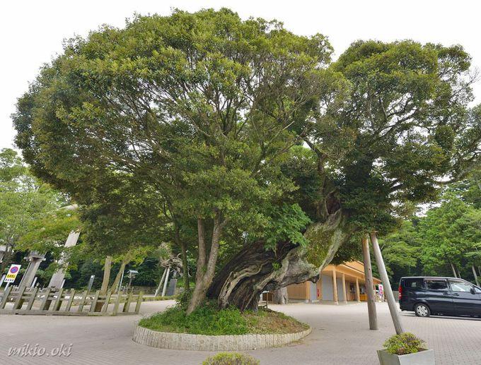 鹿島神宮の巨木・駐車場の大椎〜見落としがちな名木