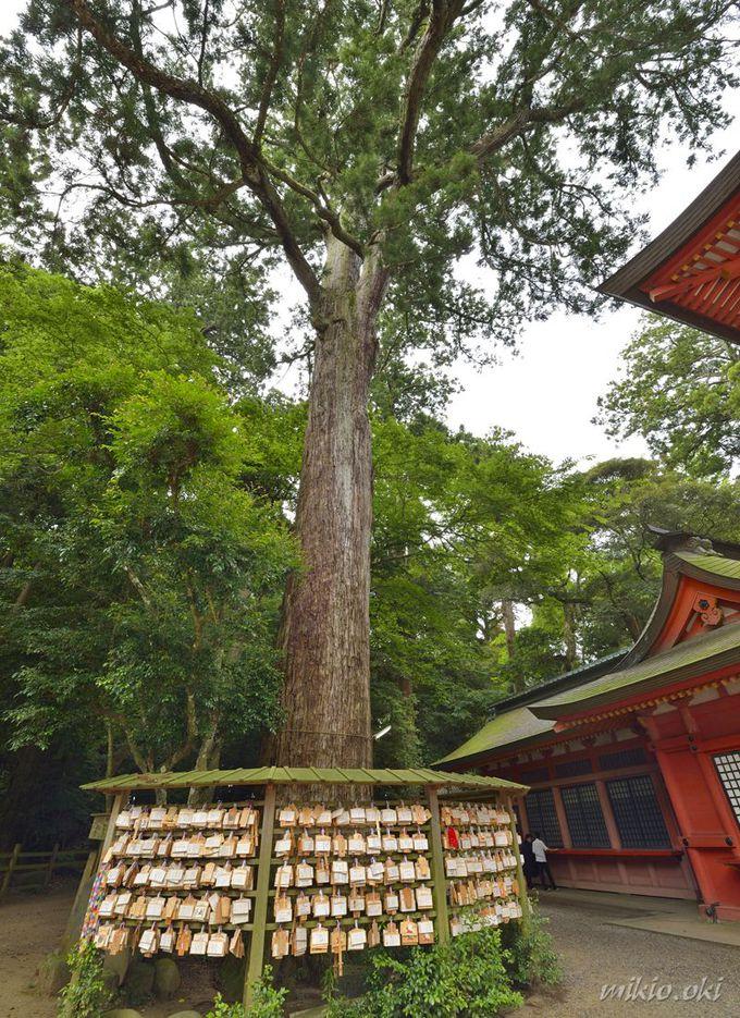 鹿島神宮の巨木・二郎杉〜境内で2番目に大きな巨木