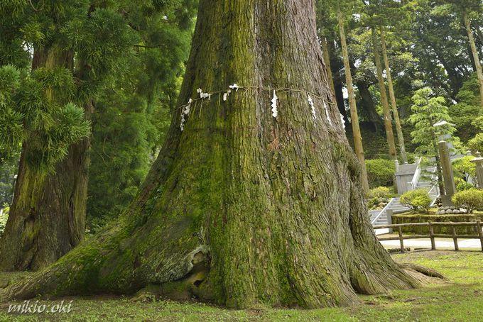 清澄の大スギは日本最大級の杉