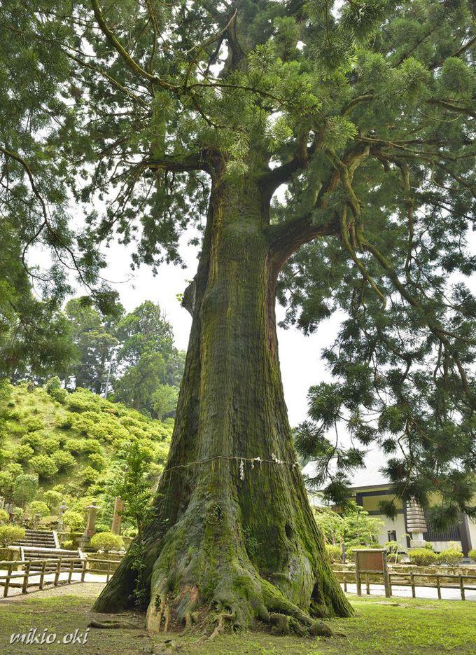南房総の豊かな自然が育んだ巨木