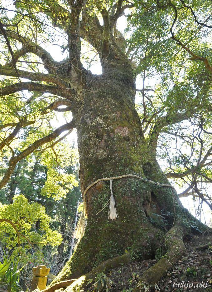 清澄寺を代表する巨木の1つ・クスノキ